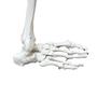 Skeletdel som viser hele højre ben med et meget bevægeligt hofte- og ankelled (inkl. hoftebenet)