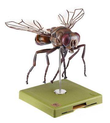 Stueflue (husfluen, Musca domestica) i højeste kvalitet og kraftig forstørret