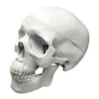 Detaljeret miniature kraniemodel med aftagelig kraniekalot. Mål: 10 x 6,5 x 7,5 cm