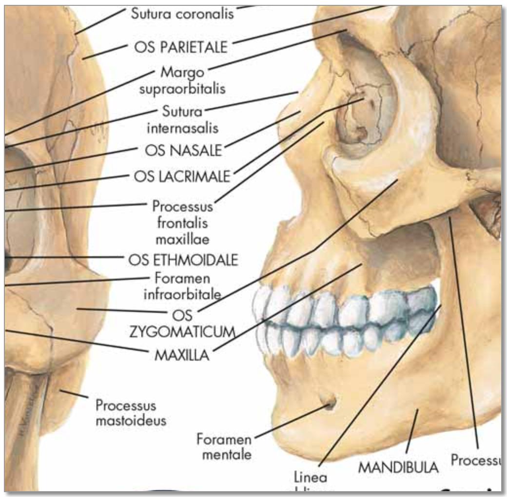 Kranieplakat med ren latin