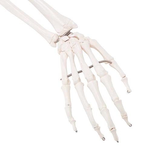 Højre armskeletmodel med scapula og clavicula