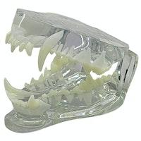 Gennemsigtig hundekæbe i normal størrelse og med tænder. Over- og underkæbe kan adskilles