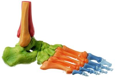 Skeletmodel af højre fod, farvet og med bevægelige led
