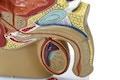 Miniature model af de indre og ydre kønsorganer hos manden set i et median-snit