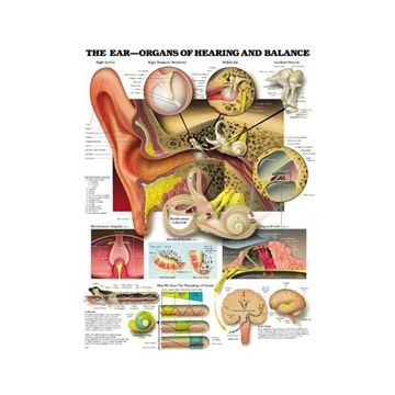 Lamineret plakat om ørets anatomi, hørelsen og balancefunktionen på engelsk