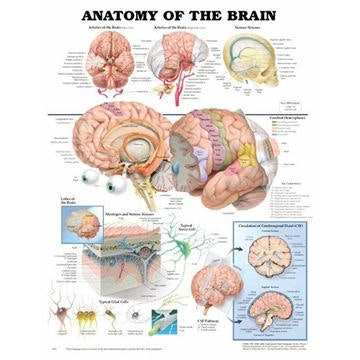 Hjernens anatomi lamineret plakat engelsk (Anatomy of the brain)
