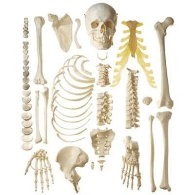 Knoglesættet med mest naturtro knogler og højeste materialekvalitet. Leveres i en papkasse