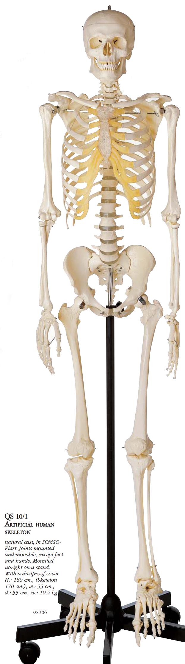 Skeletmodellen med mest naturtro knogler og højeste materialekvalitet
