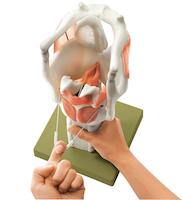 Forstørret og særlig bevægelig strubemodel med stemmelæber og relationer til flere andre væv