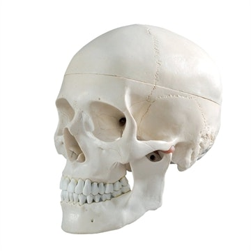 Kraniemodel af voksen i naturlig størrelse