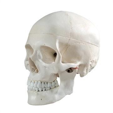 Klassisk kraniemodel i naturlig voksen størrelse
