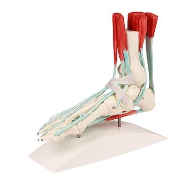 Skeletfod med ledbånd