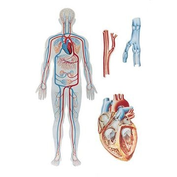 Plakat om hjertet og kredsløbet uden tekst (inkl. trælister)