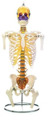 SOMSO Skeletmodel af rygsøjle med kranie, skuldre og bækken, farvet version