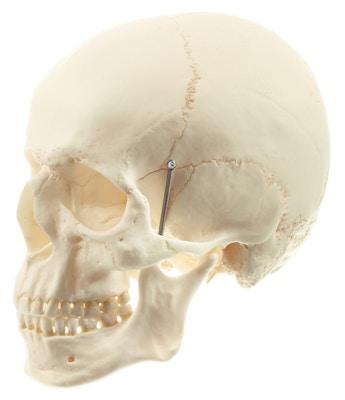 Særdeles naturtro kraniemodel i voksenstørrelse - kan adskilles i 2 dele