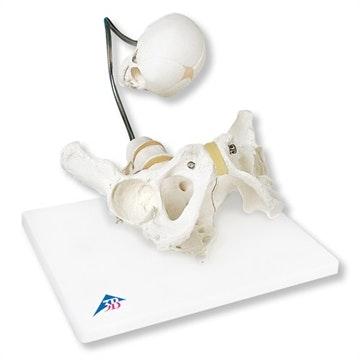Fødselssimulator, bækken og kranie