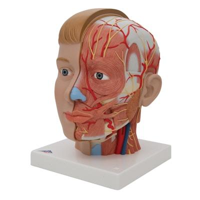 Hovedmodel med blotlagte muskler, kar og nerver