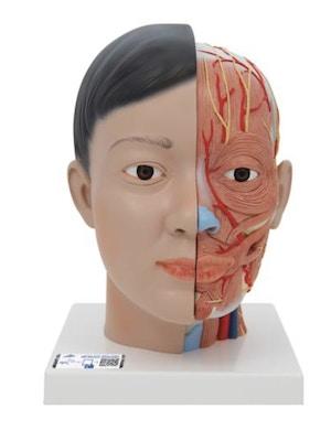 Hovedmodel med blotlagte kar, nerver og muskler - udtagelig hjerne