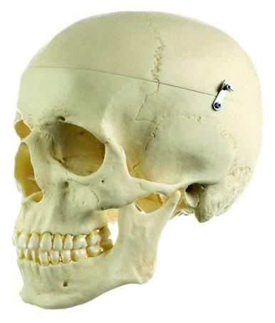 SOMSO kranie i 3 dele