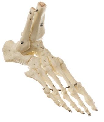 Særdeles fleksibel model af fodens skelet med yderst realistisk knoglevæv
