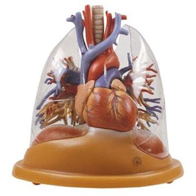 Formindsket hjerte-lunge bordmodel