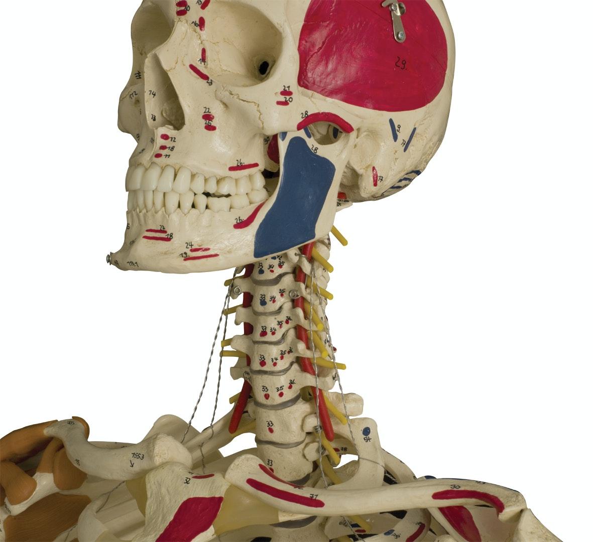 Rüdiger skeletmodel med ligamenter og muskelangivelser