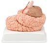 Hjernemodel med arterier i 9 dele