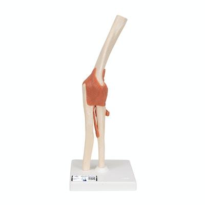 Albueled model med ledbånd og mærket brusk