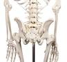 """Skeletmodel """"Hugo"""" med bevægelig rygsøjle"""