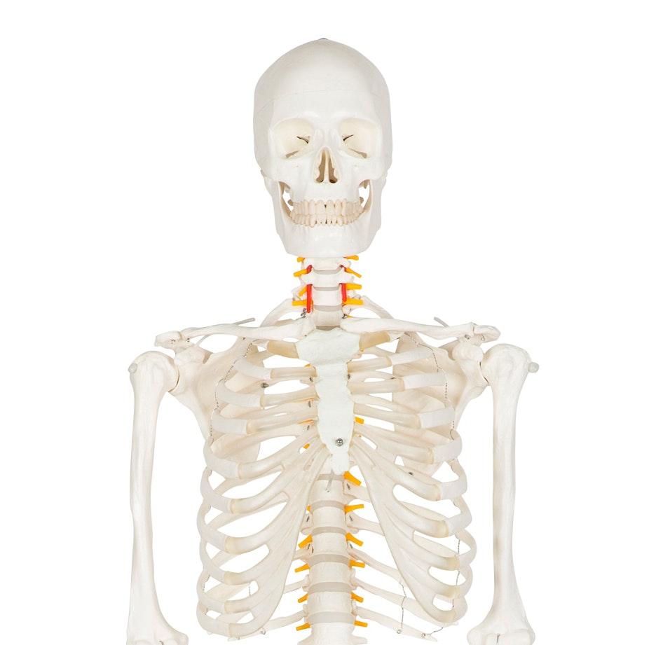 Studieskeletmodel i fuld størrelse med elastikmontering, nerver og prolaps