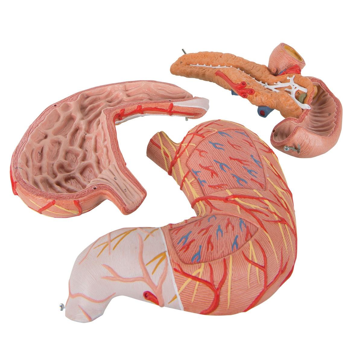 Detaljeret model af mavesækken, tolvfingertarmen og bugspytkirtlen