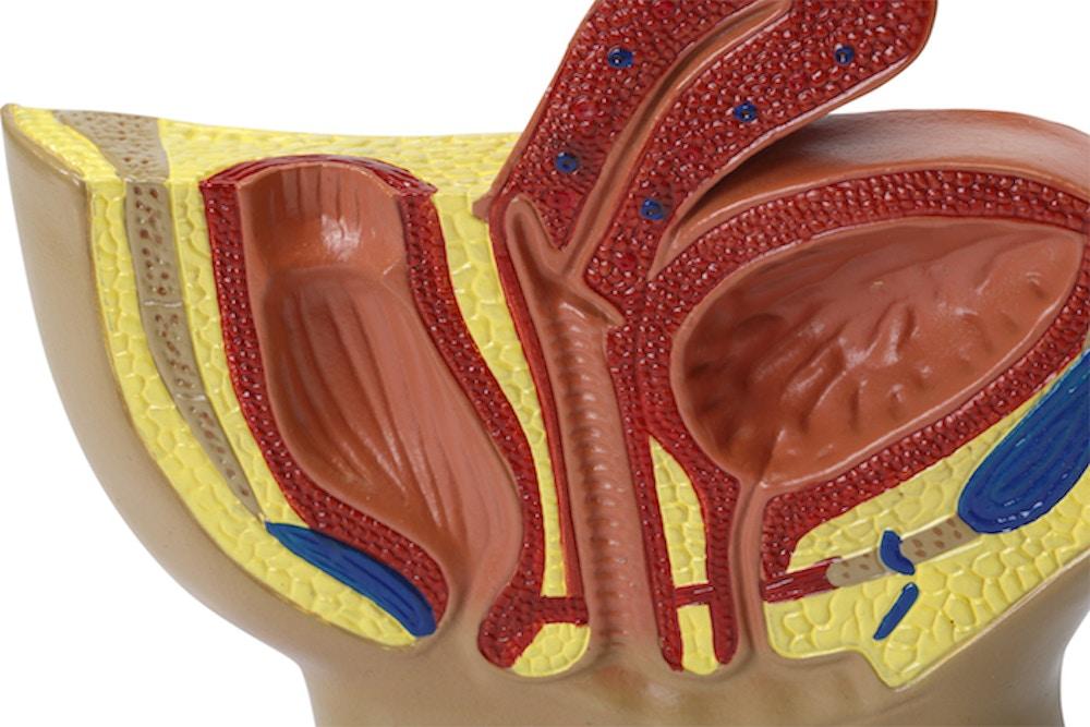 Miniature model af de indre kønsorganer hos kvinden set i