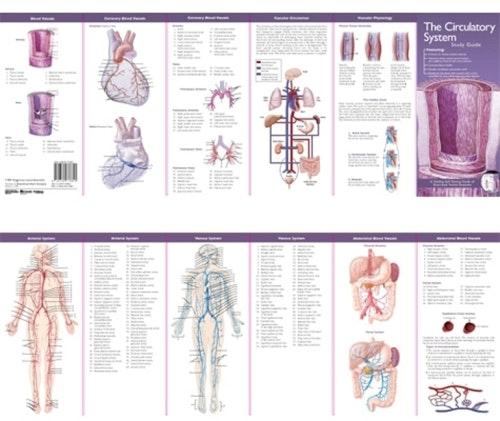 Cirkulationssystemet anatomisk folder