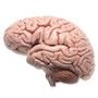 Hjernemodel med et mere naturtro udseende. Kan adskilles i 5 dele