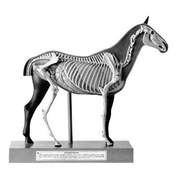 SOMSO Hestemodel med skeletsystem i 3 dele