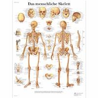 Lamineret skeletplakat som også illustrerer ledbånd på latin (dog med tyske overskrifter)