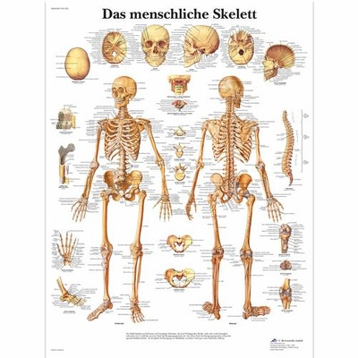 Laminated skeleton poster which also illustrates ligaments in Latin (though with German headlines)
