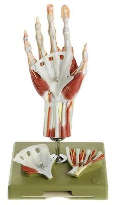 SOMSO Kirurgisk håndmodel, didaktisk farvet