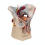 Bækkenmodel der viser bækken-bunden, kønsorganer, ledbånd, nerver og blodkar hos manden