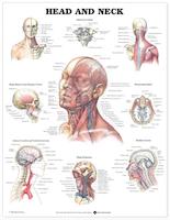 Plakat om kraniets indhold, øvre nakkeled samt muskler, kar & nerver i ansigtet og halsen på engelsk