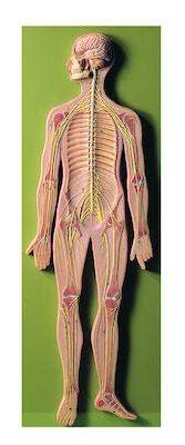 Model af nervsystemet i relief fra SOMSO Modelle