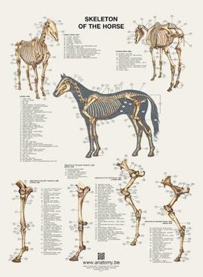 Plakat med hestens skelet på latin og engelsk