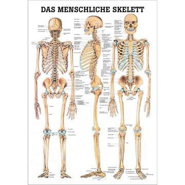 Skeletplakat lamineret tysk latin med sorte metallister