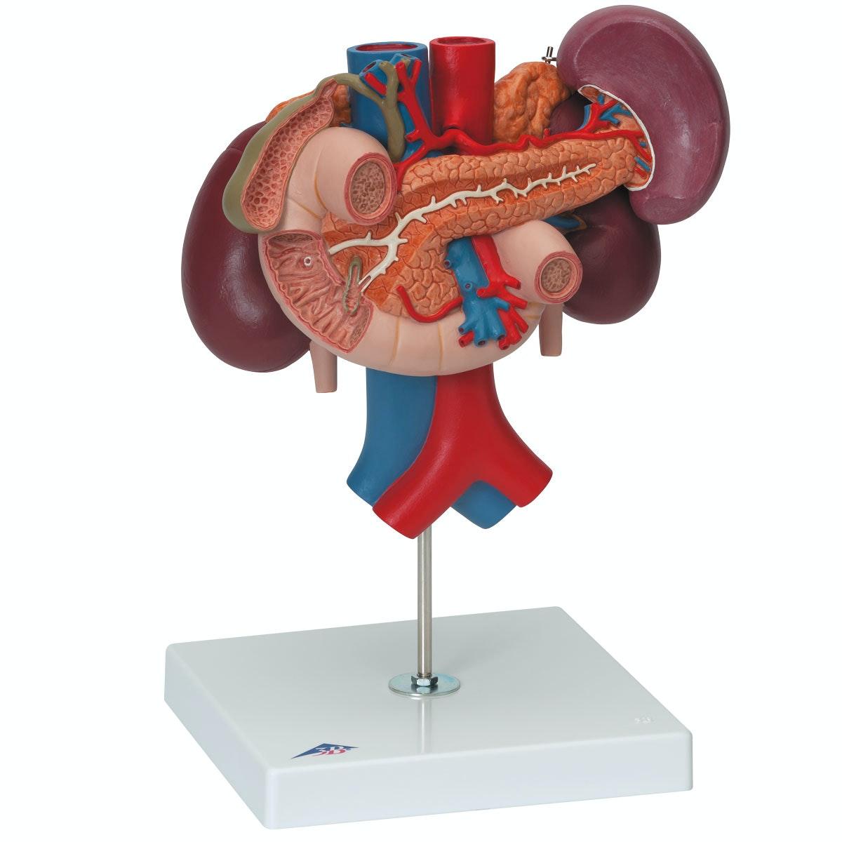 Nyrer med bagerste organer i den øvre maveregion med 3 dele