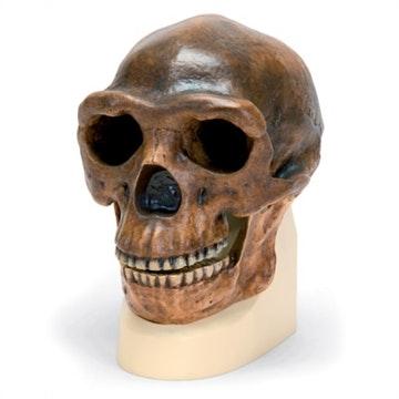 Antropologisk kranie - Sinanthropus