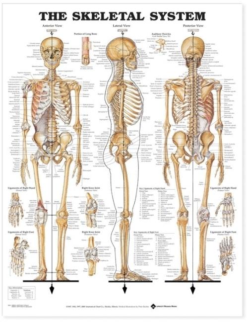Skeletplakat i hård plast med ringhuller (The Skeletal System Styrene Plastic)