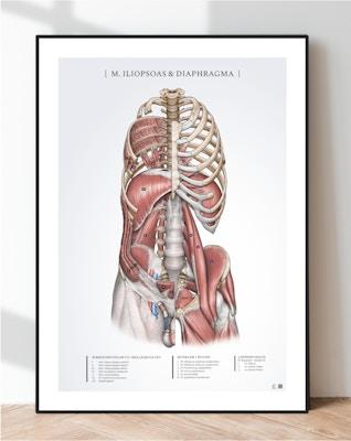 Iliopsoas og Diaphragma