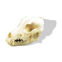 Ægte hundekranie (Canis domesticus)