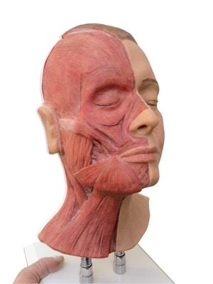 Model af hoved til ansigts injektioner, halvt muskler