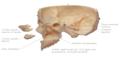 Særdeles naturtro kraniemodel i voksen størrelse. Kan adskilles i 9 dele